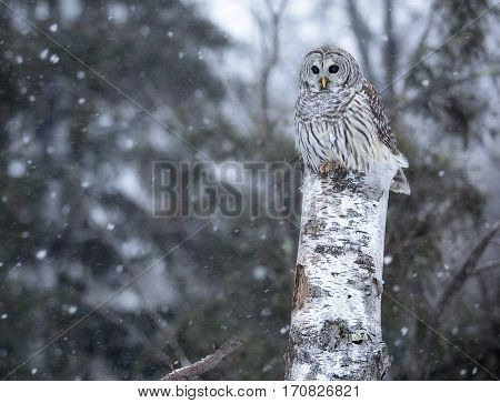 Close up image of a barred owl, in the wild, perched on a tree.