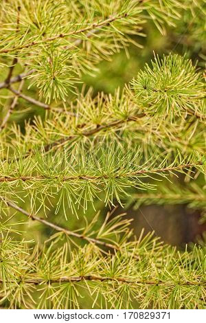 Close up of larch needles in the fall