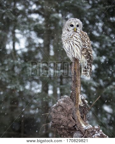 Close up image of a barred owl, in the wild, perched on a fallen tree root.