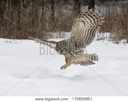 Barred owl, in flight, hunting for prey