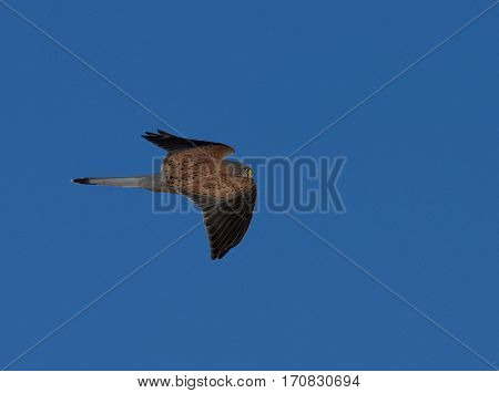 Kestrel watching for mouse ( Falco tinnunculus )
