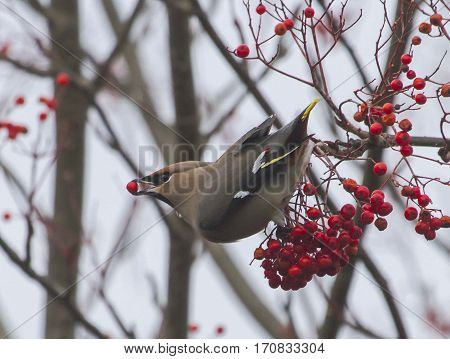 Waxwing feeding on Rowan Tree berries, Winter 2016