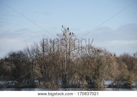 Group Of Cormorant Shag Birds Roosting In Winter Tree