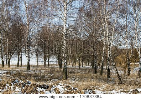 Belarus-March 5 2016 Spring birch forest in the snow sun in the snow-covered birch forest birches bent to each other the last snow of the yearforest near the road