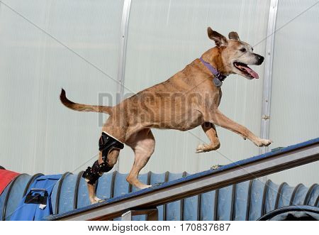 Older mixed breed boxer dog with orthotic device running up a dog walk plank