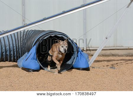 Older mixed breed boxer dog with orthotic device exiting agility tunnel