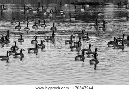 Black and white image of a flock of canada geese (branta canadensis) swimming in a lake.