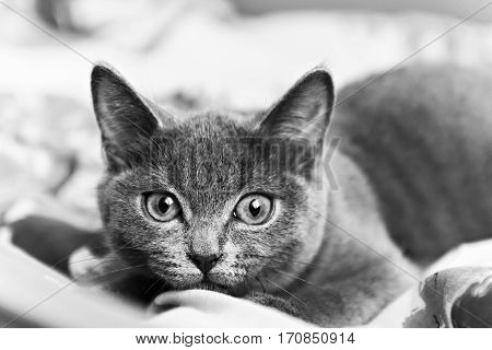 gray kitten ready to pounce black and white.