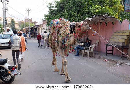 PUSHKAR, INDIA - FEBRUARY 17: Man leads camel around downtown in Pushkar, India. The city is one of the five sacred dhams for devout Hindus, in Pushkar, Rajasthan, India on February 17, 2016.