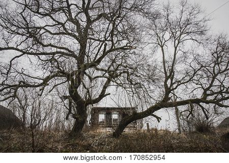 Belarus-November 24 2016 Two huge sinister tree on the hill guarding the collapse of the old wooden house forgotten and abandoned by all