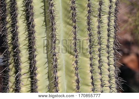 Closeup of skin of Saguaro cactus with thorns