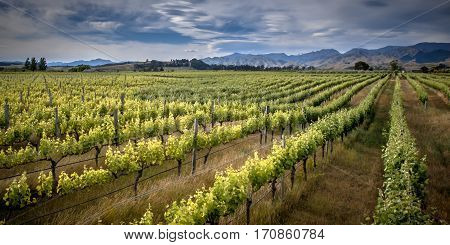 Organic Vineyard Marlborough Area New Zealand