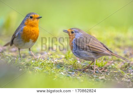 Couple Robin In Grass Backyard