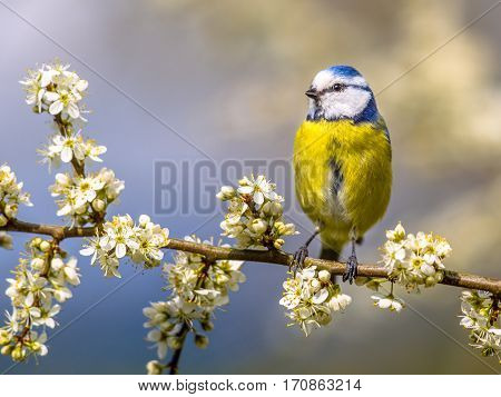Blue Tit In White Blossom