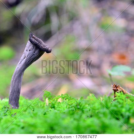craterellus cornucopioides horn of plenty mushroom in nature