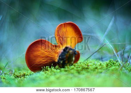 omphalotus olearius toxic mushroom shallow depth of field