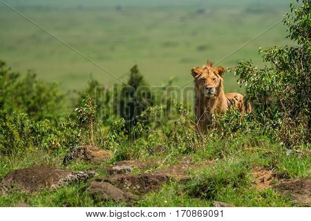Young male lion or Panthera leo in African savanna