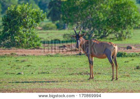 Graceful topi antelope or Damaliscus korrigum in national park