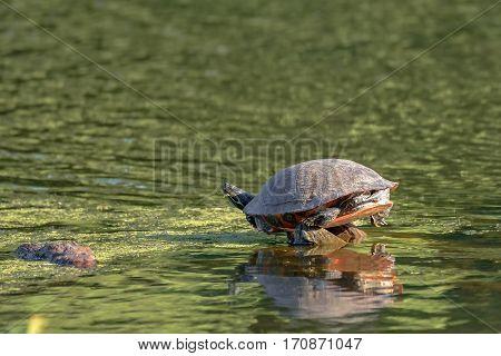 Red-eared slider turtle (Trachemys scripta elegans) basks in the sun