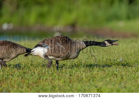 Canada goose Branta canadensis aggressive running through a meadow