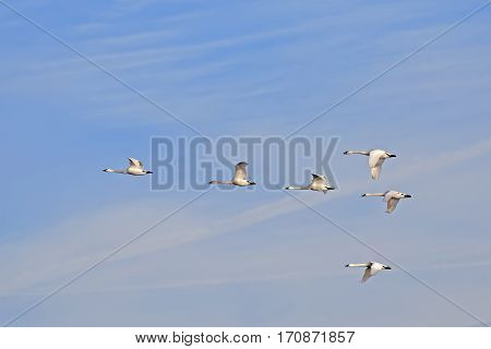 Migrating Tundra Swans ( Cygnus columbianus ) fly in formation after a layover in Lancaster County Pennsylvania USA. This swan is similar to the Whistling Swan and Trumpeter Swan.
