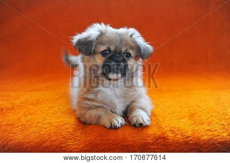 Portrait of Cute Pekingese dog next to cage