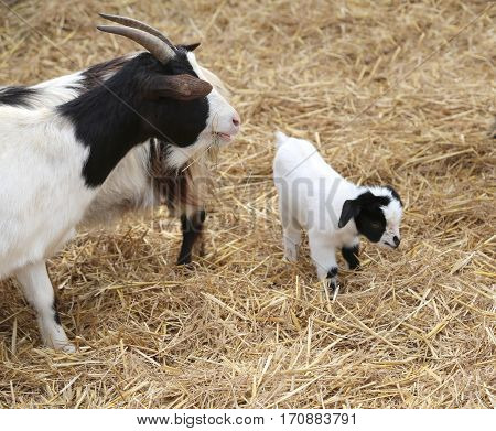 Small Goat Newborn With Her Mom