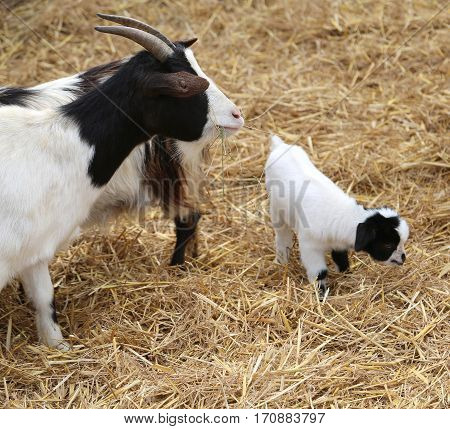 Goat Newborn With Her Mom