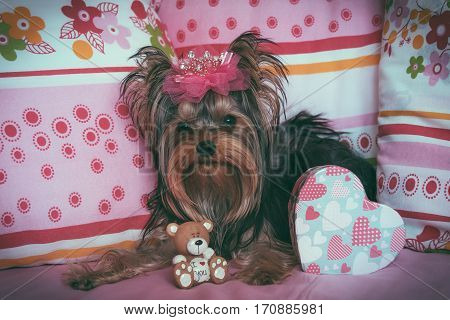 Portrait of a very cute yorkshire terrier with crown