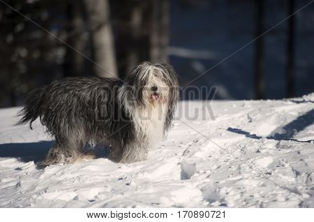 Happy Bearded Collie standing in the snow. He is ready for some fun and play. He has hair all over his face.