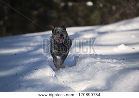 Australian Cattle Dog (ACD) running on path of snow. He is a medium sized short coated dog he looks old. He is caught in action. He has cute smiling face and lovely face expression.