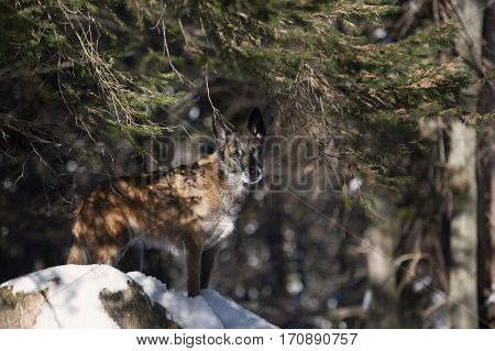 Purebred dog Belgian shepherd standing in forest and hiding. He is standing on snow. It is beautiful nature on a sunny day with shadow of spruce branch on a dog.