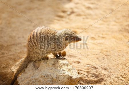 Small mongoose in the sand at sunny day