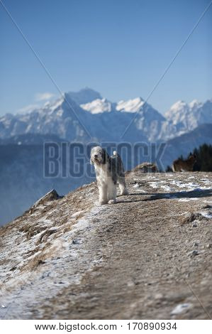 Purebred dog Bearded Collie standing on top of the hill in mountains. It is beautiful sunny day with a very nice view. Mountain is the highest in Slovenia Triglav.