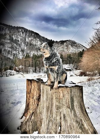 Purebred dog Australian Cattle Dog (ACD) sitting on a big tree stump. He is waiting and looking to the future. It is cloudy weather dog is in camouflage colour. Filter photography.