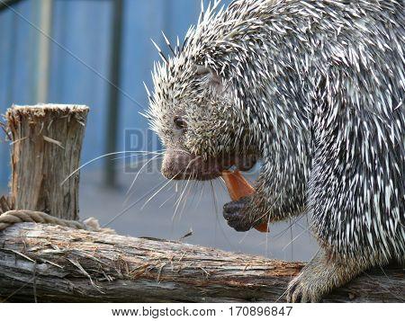 Porcupine, Erethizontidae, Quill pig, Herbivore, North American