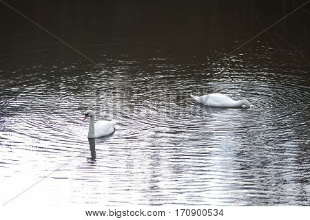 Whooper Swan or Cygnus Swan Photographed in Scotland