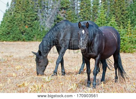 Black Band Stallion and Black Mare on Sykes Ridge in the Pryor Mountains Wild Horse Range on the Montana Wyoming border in USA