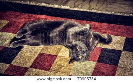 Gray cat lying on ornamental carpet and looking at camera. Horizontal indoors shot