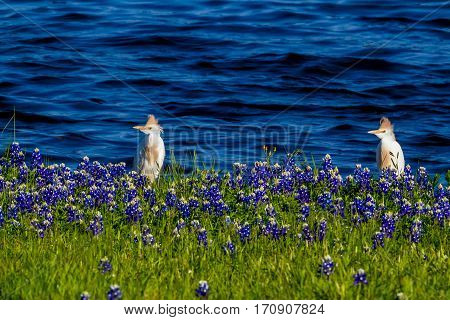 Cattle Egret (Bubulcus ibis) in Beautiful Famous Texas Bluebonnet (Lupinus texensis) Wildflowers at Muleshoe Bend on Lake Travis in Texas.