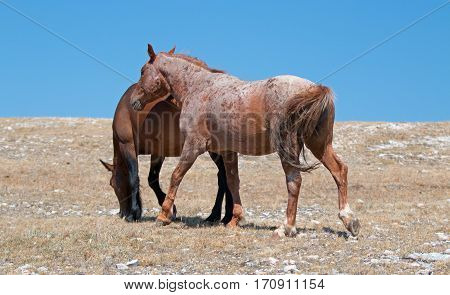 Windblown Red Roan Stallion With His Bay Mare On Sykes Ridge On The Wyoming Montana State Line In Us