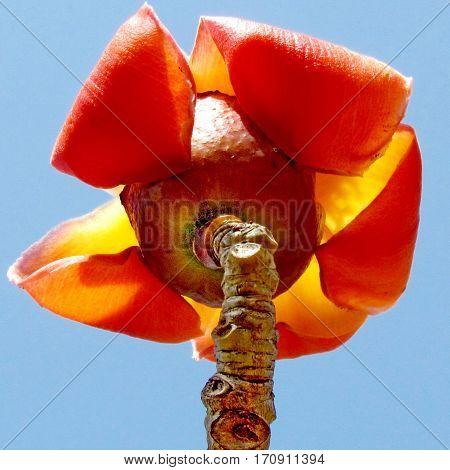 Orange flower isolated of Bombax ceiba tree in Edith Wolfson Park in Ramat Gan Israel