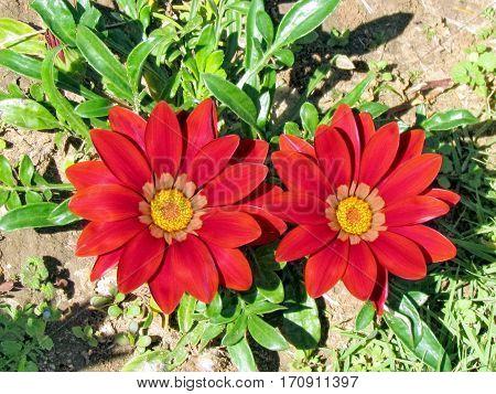 Red Gazania flowers in Park of Ramat Gan Israel