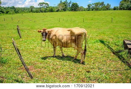Jersey cow grazing in green grass and looking into the camera through tumbled down fence at sunny summer day