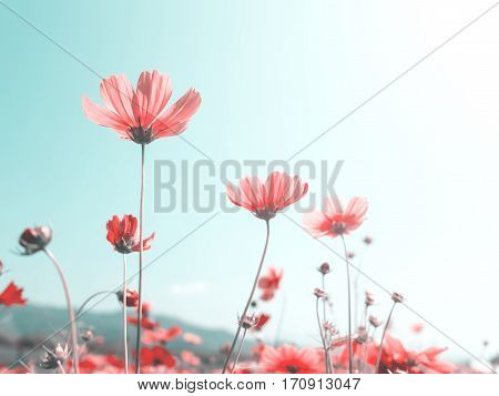 Pink cosmos (bipinnatus) flowers against the bright blue sky. Cosmos is also known as Cosmos sulphureus Selective Focus Vintage Pastel Color Tone