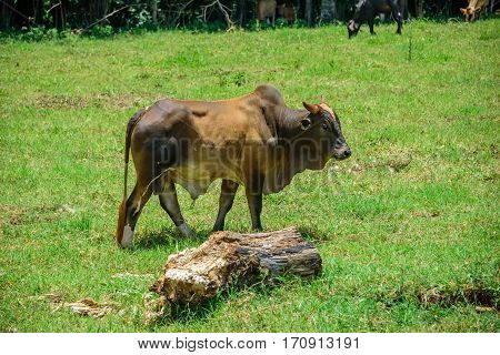 Brahman cow walking on the meadow with mouldering log on the foreground  and two cows eating  green grass on the background at sunny summer day poster