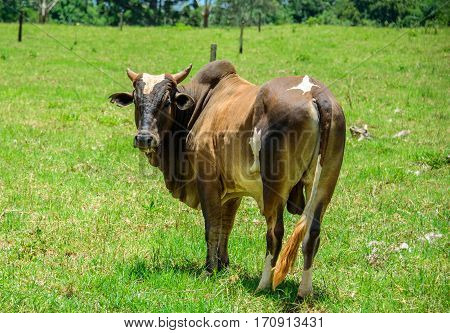 Brahman cow standing in the middle of the green meadow, chewing grass and looking into the camera at sunny summer day poster