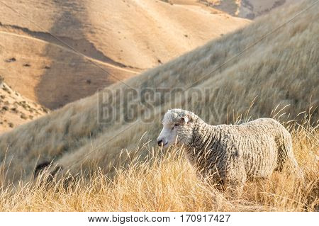 merino sheep grazing on steep grassy slope