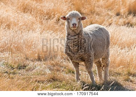 curious merino sheep standing on grassy hill