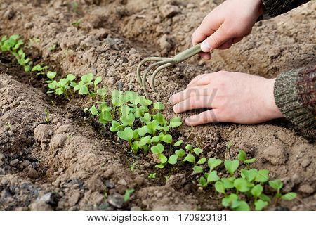 Man hands with hoe cultivating young green sprout in the soil, spring bed of new crops, selective focus.